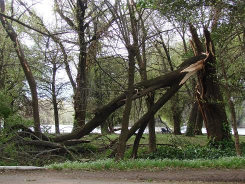 Estado de uno de los árboles luego de la tormenta.
